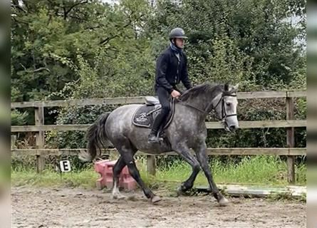 Connemara, Mare, 4 years, 15.2 hh, Can be white