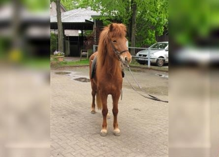 Icelandic Horse, Mare, 8 years, 13.1 hh, Chestnut-Red