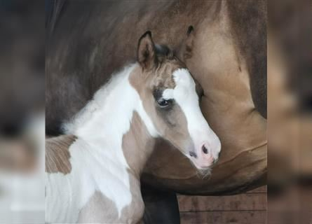 Mustang (canadian), Mare, Foal (07/2021), 14.2 hh, Pinto