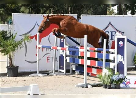 Selle Français, Mare, 3 years, 16.2 hh, Chestnut-Red