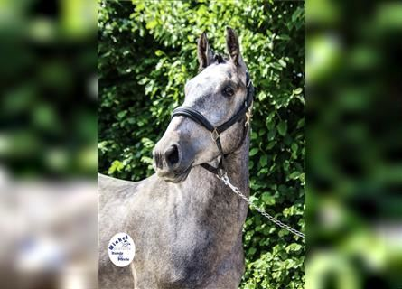 Other Warmbloods, Gelding, 3 years, 16 hh, Gray