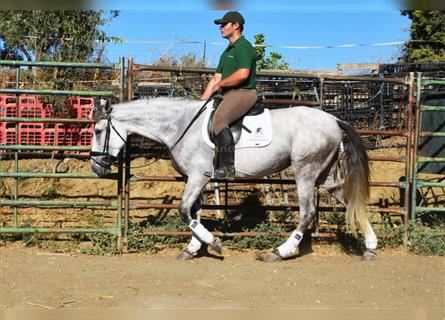 Andalusian, Mare, 6 years, 15.1 hh, Gray