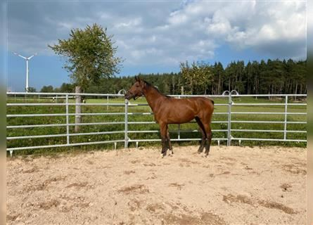 German Sport Horse, Mare, 2 years, 17 hh, Brown