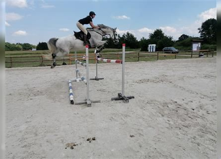Other Breeds, Gelding, 11 years, 16.1 hh, Gray