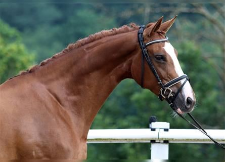 German Sport Horse, Mare, 6 years, 16.1 hh, Chestnut-Red