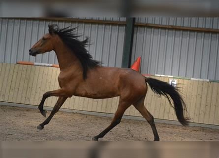 Other Breeds, Mare, 3 years, 15 hh, Brown
