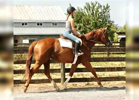 Other Thoroughbreds, Mare, 12 years, 15.3 hh, Chestnut