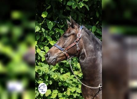 More ponies/small horses, Mare, 5 years, 13.2 hh, Brown