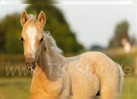 Welsh B, Mare, Foal (05/2021), 13 hh, Palomino