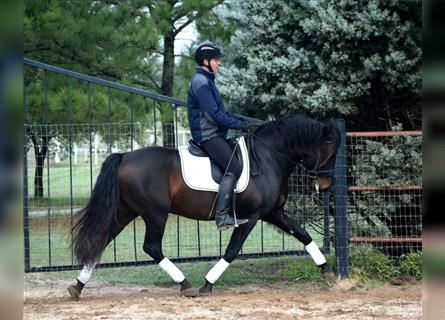 Andalusier, Hengst, 6 Jahre, 165 cm, Rappe