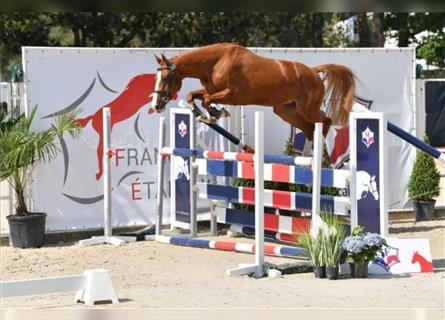 Selle Français, Mare, 3 years, 16 hh, Chestnut-Red