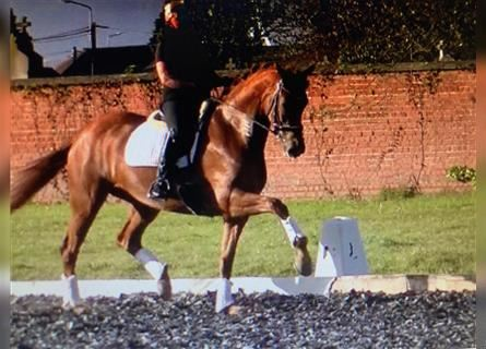 KWPN, Mare, 8 years, 16.1 hh, Chestnut
