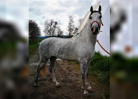 Andalusian, Gelding, 3 years, 15 hh, Gray-Dapple