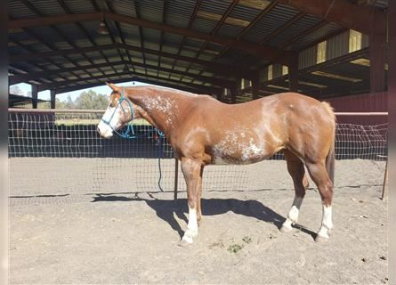 Pintos, Mare, 10 years, 15 hh