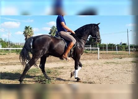 Andalusian, Gelding, 14 years, 15.3 hh, Black