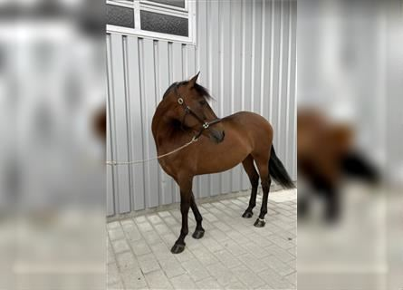 More ponies/small horses, Mare, 14 years, 14.2 hh, Brown
