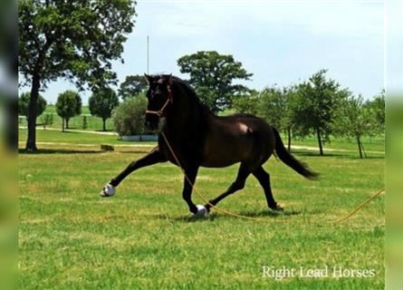 Andalusier, Hengst, 11 Jahre, 163 cm, Rappe