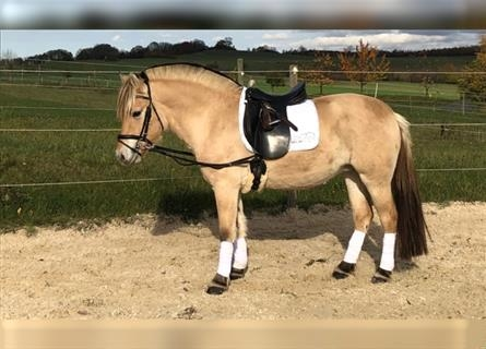 Fjord Horses, Mare, 4 years, 14.1 hh, Dun