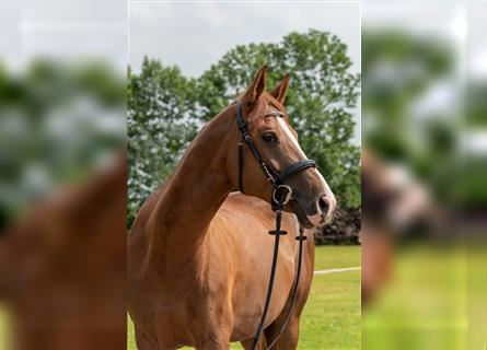 Czech Warmblood, Mare, 11 years, 16 hh, Chestnut-Red