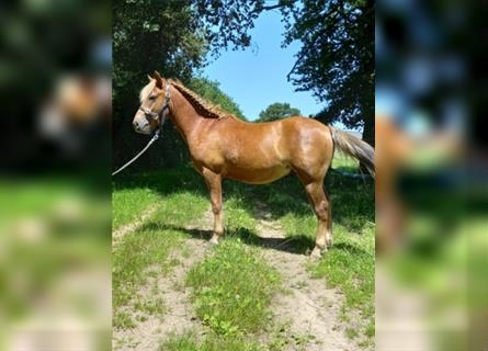 New Forest Pony, Stallion, 2 years, 12.2 hh, Chestnut-Red