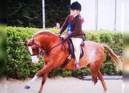 Welsh-B, Castrone, 12 Anni, 129 cm, Roano rosso