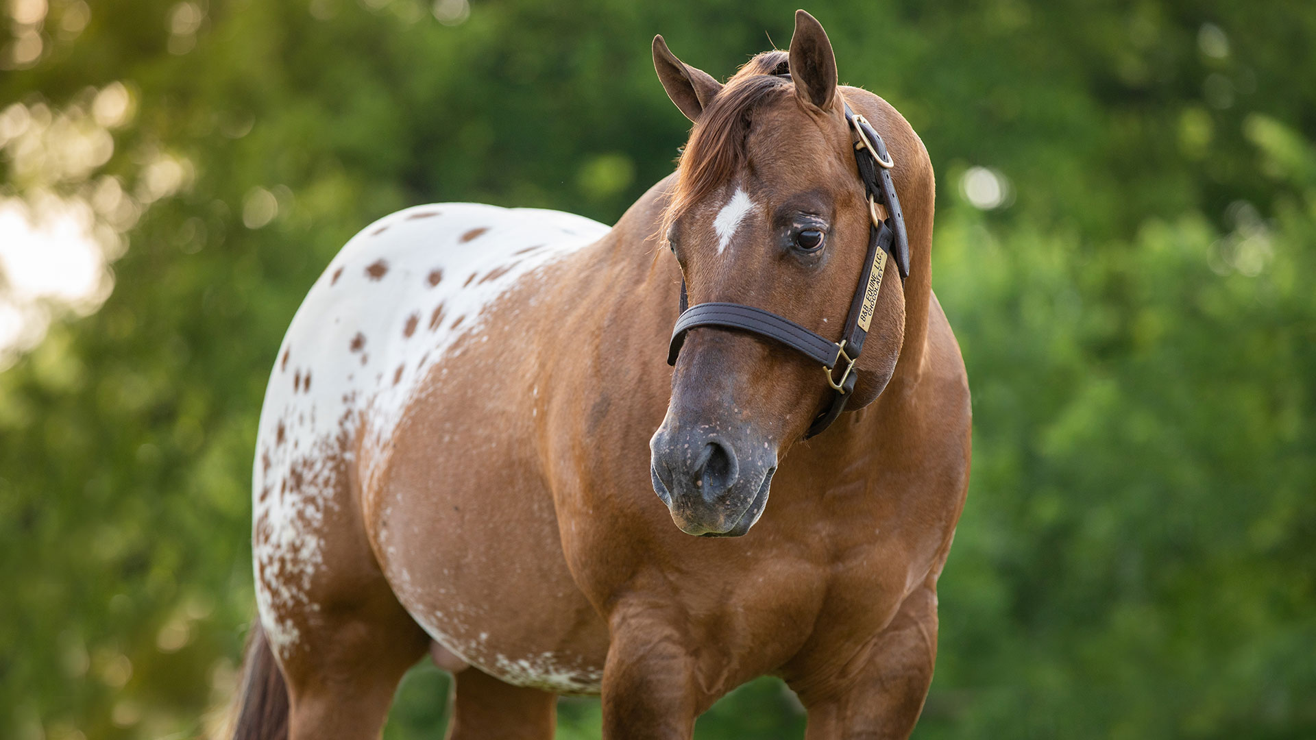 Image Appaloosa for sale