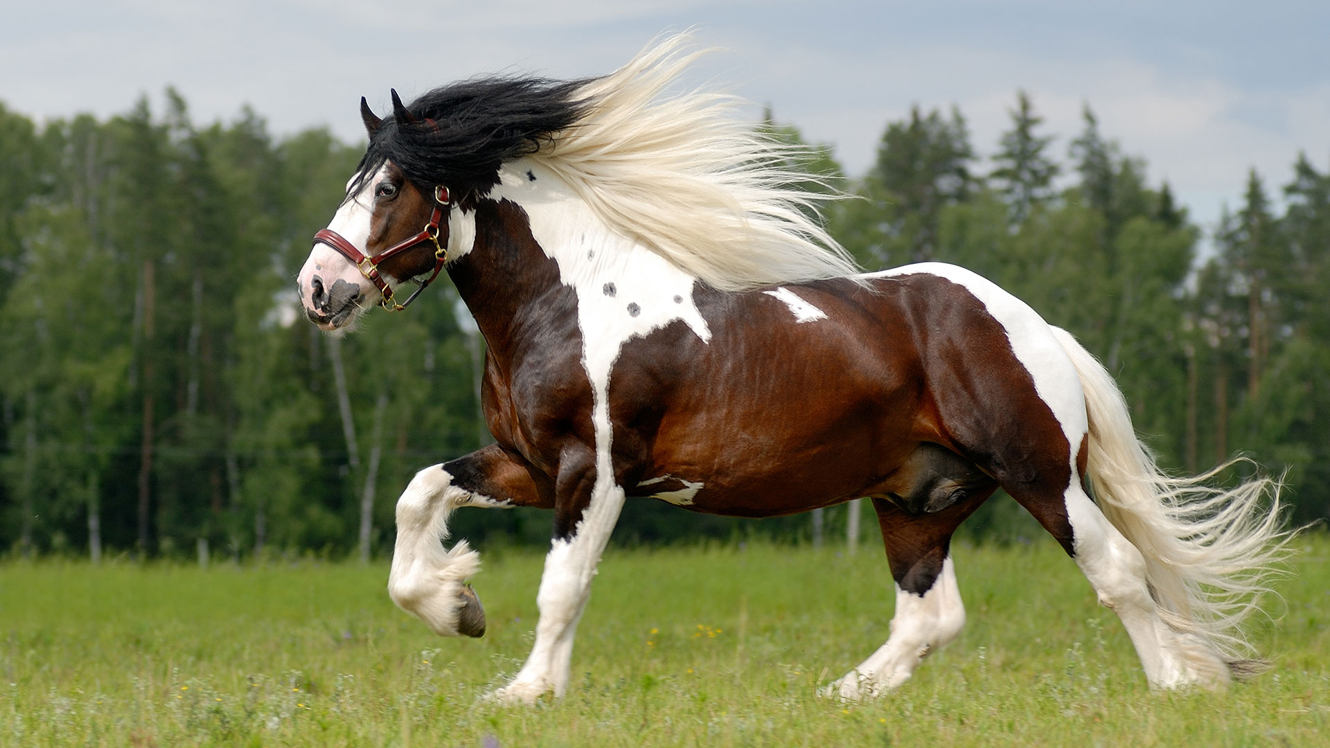 Image Gypsy Horse for sale