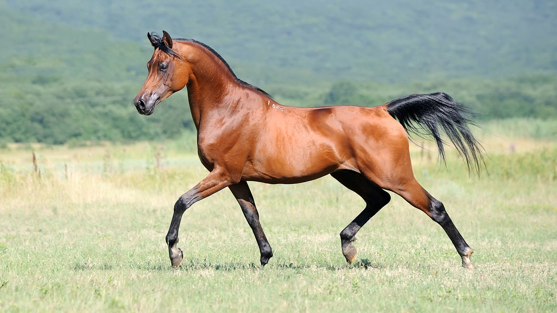 Image Arabian horses for sale