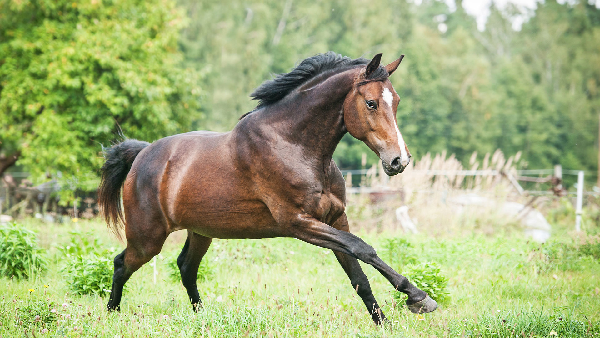 Image Brandenburg Warmblood for sale
