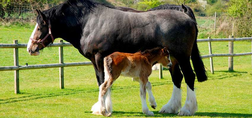 Shire Horse_2