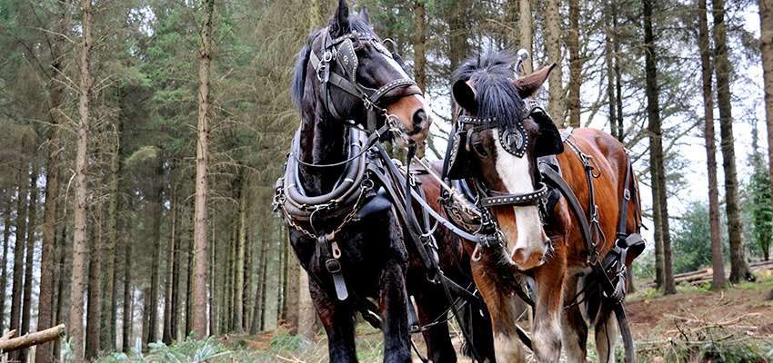 Shire Horse_3