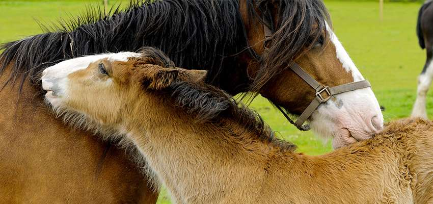 Shire Horse_4