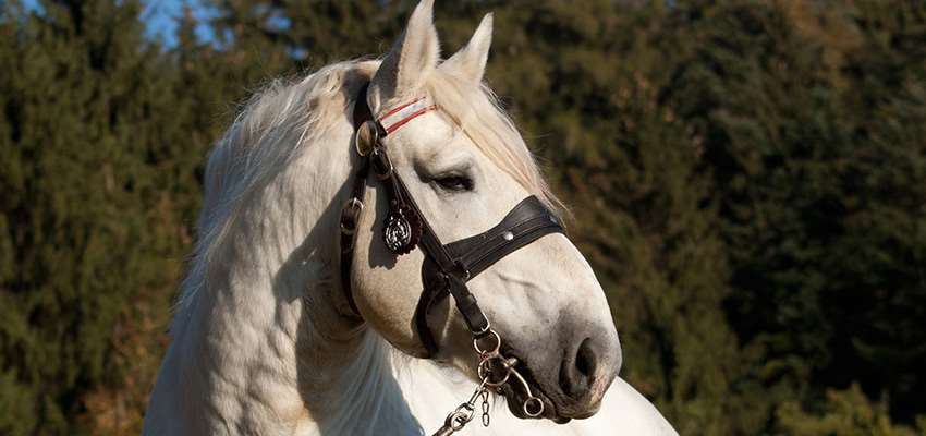 Percheron_4