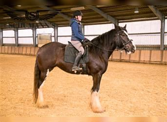 Shire Horse, Mare, 6 years, 18.1 hh, Black