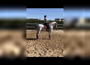 Andalusian Mix, Gelding, 8 years, 15.1 hh, Gray-Dapple