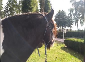 Gypsy Horse, Mare, 15 years, 14.1 hh, Pinto
