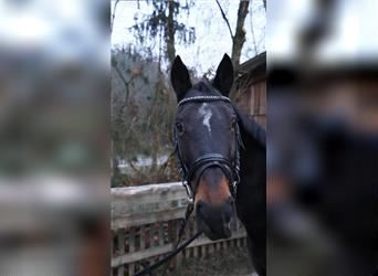 More ponies/small horses, Mare, 17 years, 14.2 hh, Brown