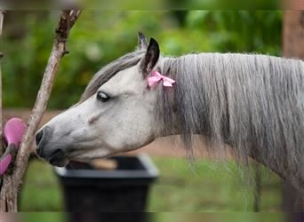 Welsh B Mix, Mare, 6 years, 11.1 hh, Gray