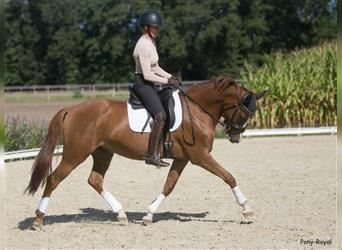 German Riding Pony, Mare, 10 years, 14.1 hh, Chestnut-Red