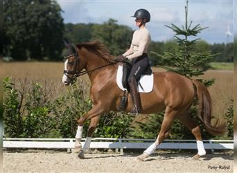 German Riding Pony, Mare, 4 years, 14.2 hh, Chestnut-Red