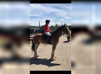 Shire Horse, Mare, 7 years, 17 hh, Bay