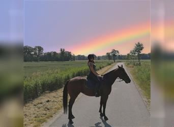 German Trotter, Mare, 9 years, 15.3 hh