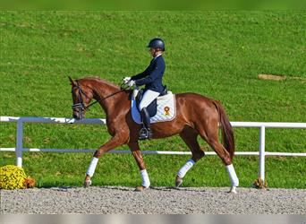 German Sport Horse, Mare, 3 years, 16 hh, Chestnut-Red