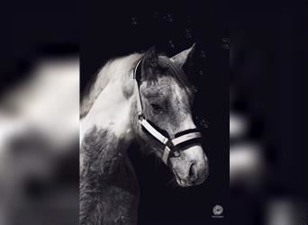 Gypsy Horse Mix, Gelding, 2 years, 14.1 hh, Pinto