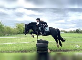 Gypsy Horse, Mare, 7 years, 14.2 hh, Black