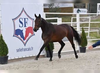 Selle Français, Mare, 3 years, 16.1 hh, Brown