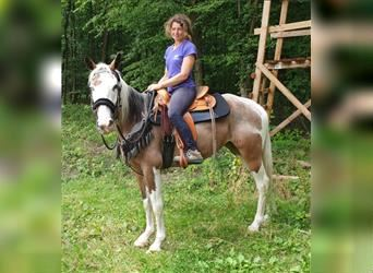 Pintos Mix, Mare, 5 years, 15.1 hh, Pinto