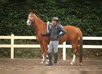 KWPN, Mare, 5 years, 16.1 hh, Chestnut-Red