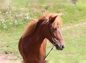 Icelandic Horse, Mare, 6 years, 13.2 hh, Chestnut-Red