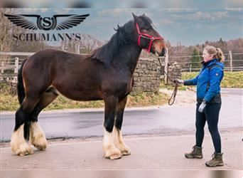 Shire Horse, Gelding, 3 years, 17.2 hh, Brown